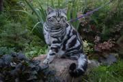 Шотландский кот/вязка.